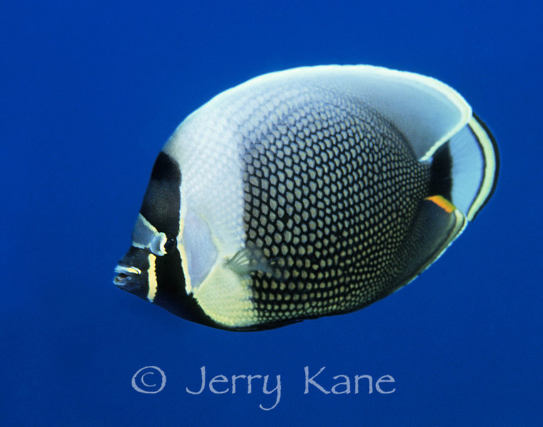 Reticulated Butterflyfish (Chaetodon reticulatus) - Big Island, Hawaii