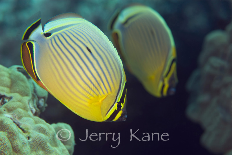 Oval Butterflyfish (Chaetodon lunulatus) - Honokohau, Big Island, Hawaii