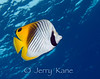 Threadfin Butterflyfish (Chaetodon auriga) - Honokohau, Big Island, Hawaii