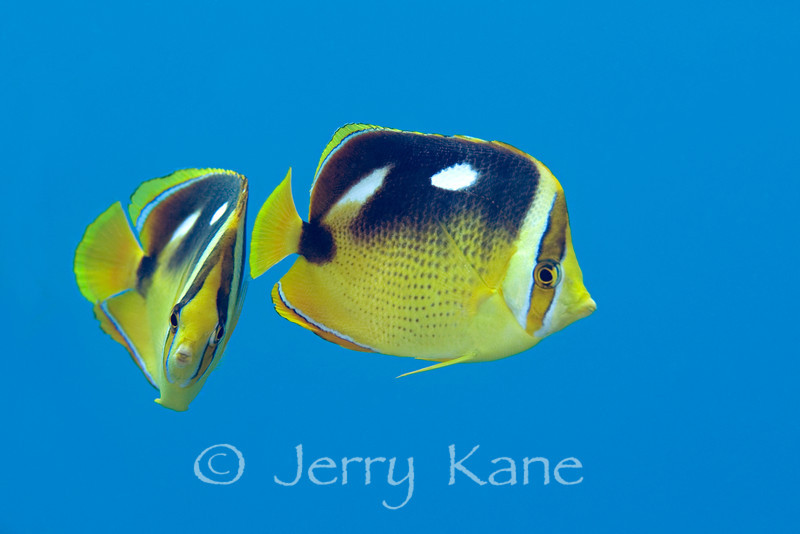 Fourspot Butterflyfish (chaetodon quadrimaculatus) - Honokohau, Big Island, Hawaii