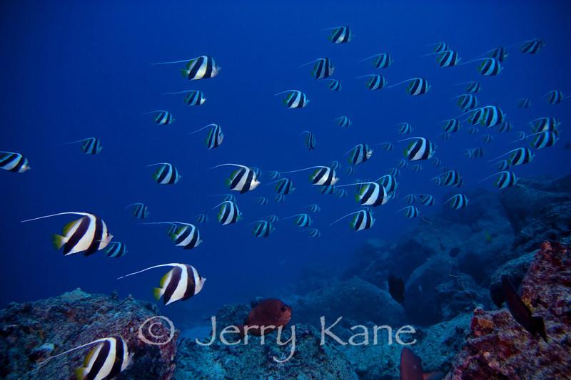 Pennant Butterflyfish (Heniochus diphreutes) - Kaiwi Pt., Big Island, Hawaii