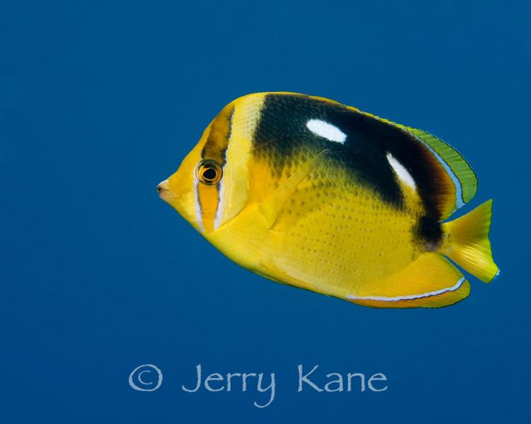 Fourspot Butterflyfish (Chaetodon quadrimuculatus) - Big Island, Hawaii