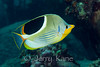 Saddleback Butterflyfish (Chaetodon ephippium) - Au Au Canyon, Big Island, Hawaii