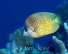 Klein's Butterflyfish (Chaetodon kleinii) - Big Island, Hawaii