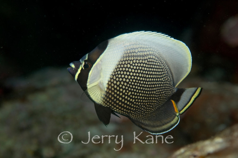 Reticulated Butterflyfish (Chaetodon reticulatus) - Red Hill, Big Island, Hawaii
