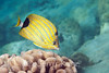 Bluestripe Butterflyfish (Chaetodon fremblii) - Honokohau, Big Island, Hawaii