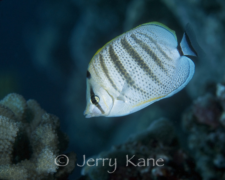 Pebbled Butterflyfish (Chaetodon multicinctus) - Big Island, Hawaii