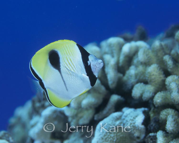 Teardrop Butterflyfish (Chaetodon unimaculatus) - Big Island, Hawaii