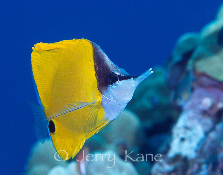 Forceps Butterflyfish (Forcipiger flavissimus) - Big Island, Hawaii