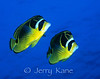 Raccoon Butterflyfish (Chaetodon lunula) - Kaiwi Point, Big Island, Hawaii