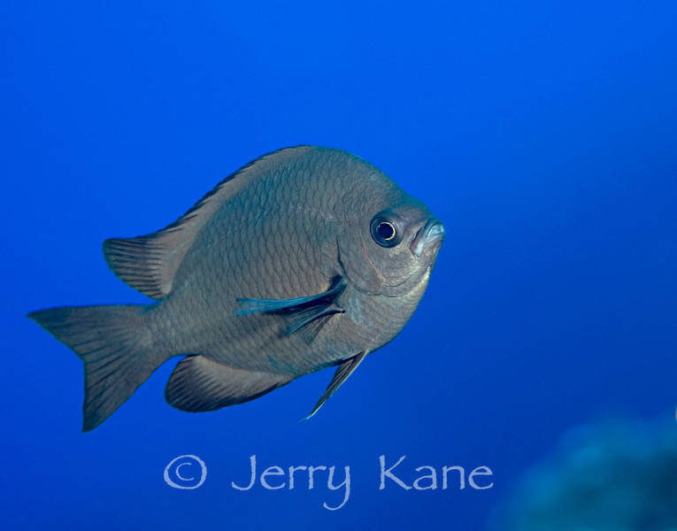 Threespot Chromis (Chromis verater) - Kaiwi Point, Big Island, Hawaii