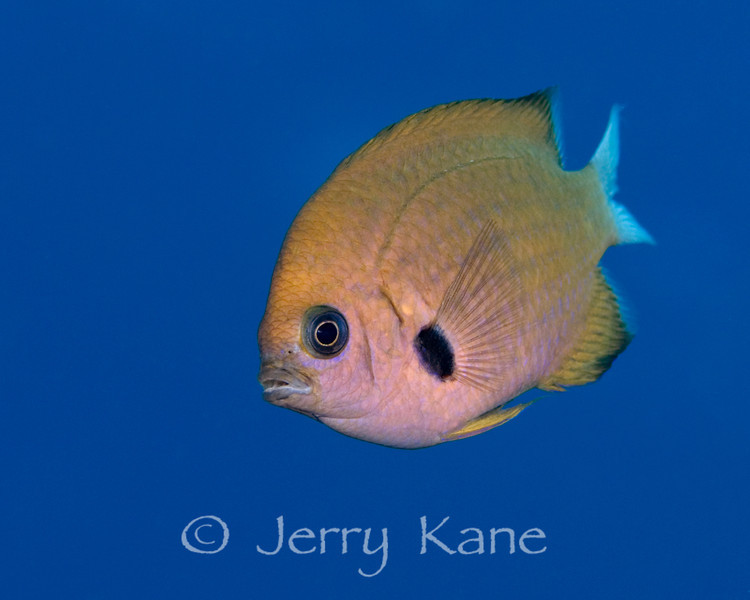 Agile Chromis (Chromis agilis) - Red Hill, Big Island, Hawaii