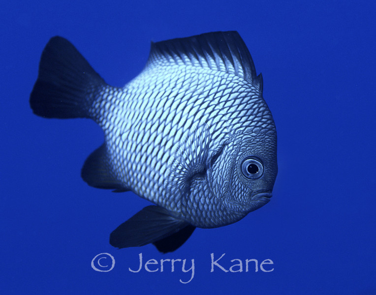 Hawaiian Domino Damselfish (Dascyllus albisella) - Honaunau, Big Island, Hawaii