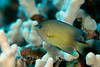 Blue-Eye Damselfish - (Plectoglyphidodon johnstonianus) - Makako Bay, Big Island, Hawaii
