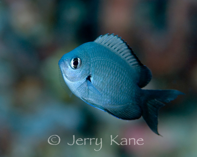 Threespot Chromis, juv (Chromis verater) - Alps, Big Island, Hawaii