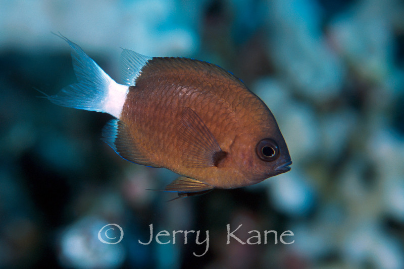 Chocolate Dip Chromis (Chromis hanui) - Big Island, Hawaii