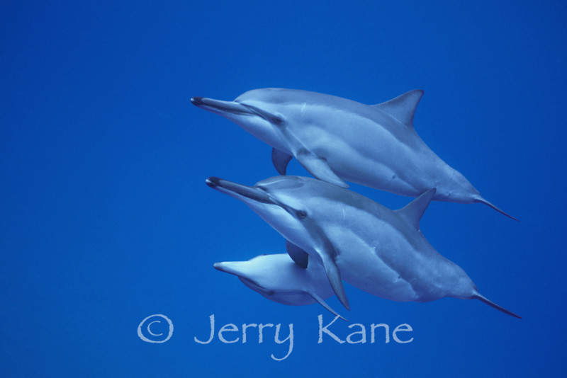Spinner Dolphin (Stenella longirostris) - Hookena, Big Island, Hawaii