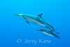 Spinner Dolphin & Calf (Stenella longirostris) - Honokohau, Big Island, Hawaii