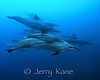 Spinner Dolphin (Stenella longirostris) - Honaunau, Big Island, Hawaii