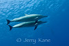 Spinner Dolphin (Stenella longirostris) - Honokohau, Big Island, Hawaii