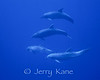 Pacific Bottlenose Dolphins (Tursiops truncatus gilli) - Offshore Kona, Big Island, Hawaii