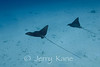 Spotted Eagle Rays (Aetobatus narinari) - Honokohau, Big Island, Hawaii