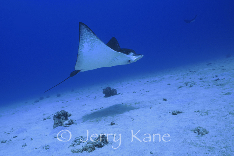 Spotted Eagle Ray (aetobatis narinari) - Honokohau, Big Island, Hawaii