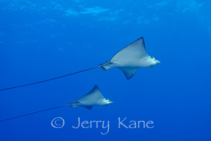 Spotted Eagle Rays (Aetobatis narinari) - Keahole Point, Big Island, Hawaii