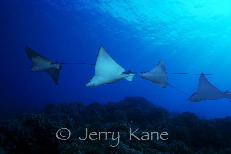 Spotted Eagle Rays (Aetobatis narinari) - Honaunau, Big Island, Hawaii