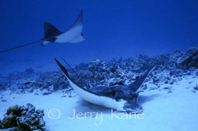 Spotted Eagle Rays (Aetobatis narinari) - Honokohau, Big Island, Hawaii