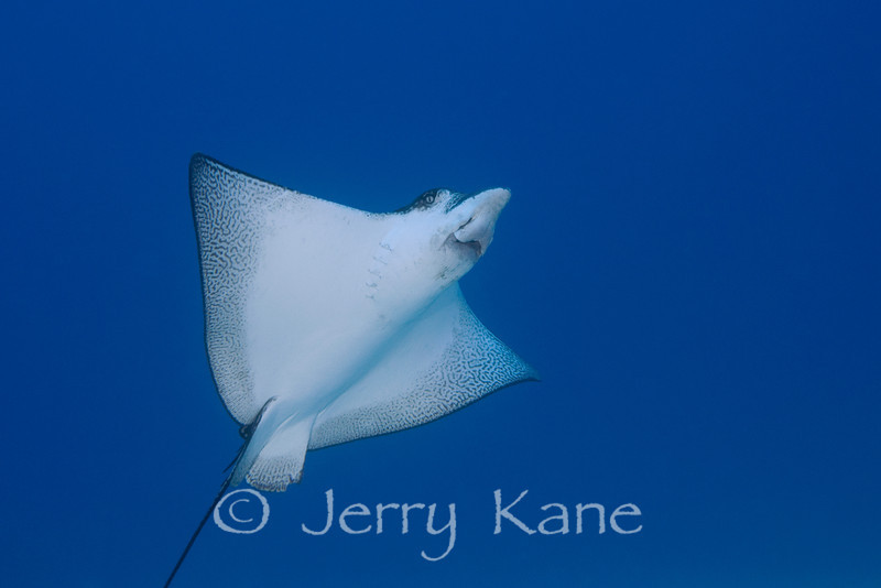 Spotted Eagle Ray (Aetobatus narinari) - Honokohau, Big Island, Hawaii