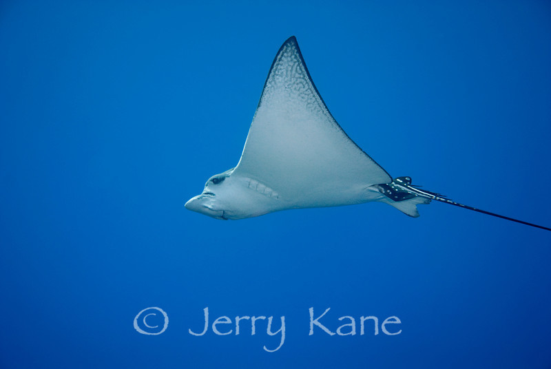 Spotted Eagle Ray (Aetobatis narinari) - Keahole Point, Big Island, Hawaii