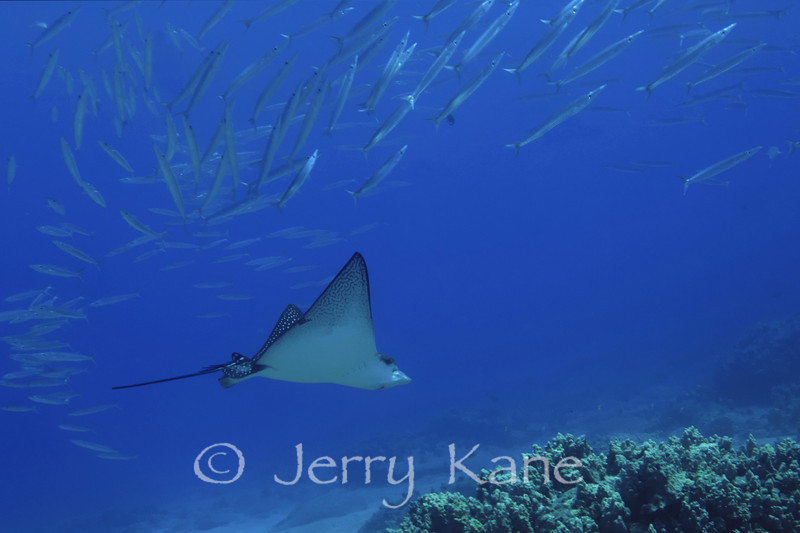Spotted Eagle Ray (Aetobatis narinari) & Heller's Barracuda - Honokohau, Big Island, Hawaii