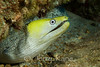 Undulated Moray Eel, light coloration (Gymnothorax undulatus) - Honokohau, Big Island, Hawaii