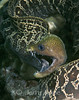 Undulated Moray (Gymnothorax undulatus) - Oahu, Hawaii