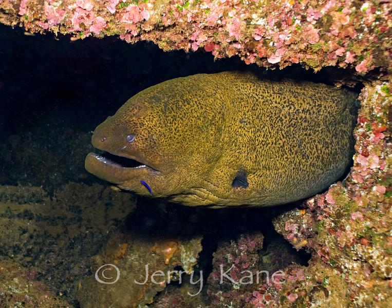 Java or Giant Moray (Gymnothorax javanicas) - Keahole Point, Big Island, Hawaii