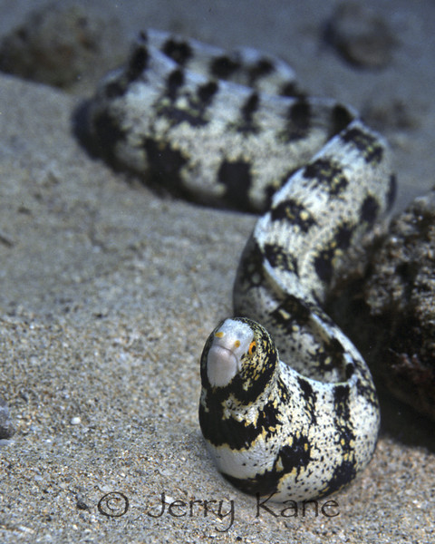 Snowflake Moray (Echidna nebulosa) - Kahe Point, Oahu, Hawaii