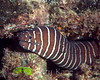 Zebra Moray (Gymnomuraena zebra) - Pupukea, Oahu, Hawaii