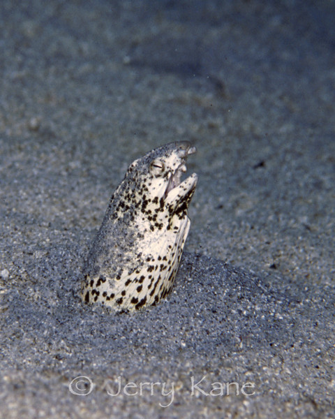 Freckled Snake Eel (Callechelys lutea) - Halona Blowhole, Oahu, Hawaii