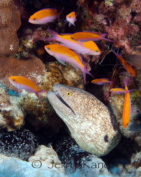 Yellowmargin Moray (Gymnothorax flavimarginatus) & Bicolor Anthias (Pseudanthias bicolor) - Honokohau, Big Island, Hawaii