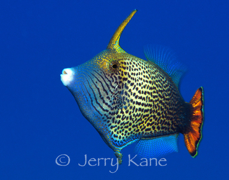 Fantail Filefish (Pervagor spilosoma) - Oahu, Hawaii