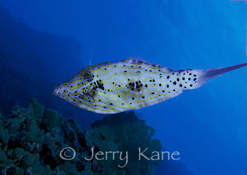 Scribbled Filefish (Aluterus scriptus) - Kaiwi Point, Big Island, Hawaii
