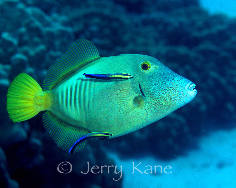 Barred Filefish (Cantherhines dumerilii) - Honaunau, Big Island, Hawaii