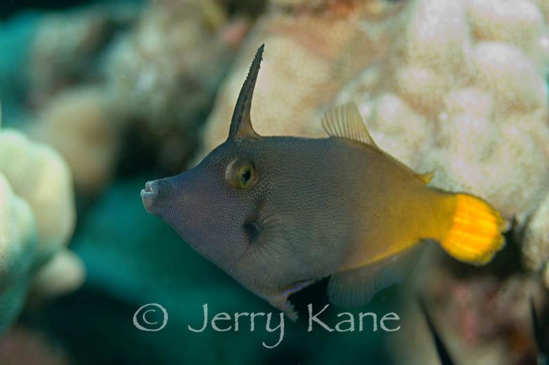Yellowtail Filefish (Pervagor aspricadus) - Au Au Canyon, Big Island, Hawaii