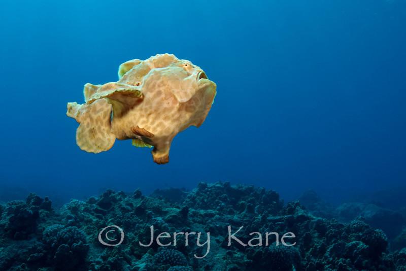 Commerson's Frogfish (Antennarius commerson) - Honokohau, Big Island, Hawaii