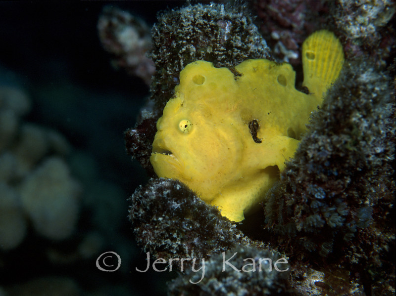 Commerson's Frogfish (Antennarius commerson) - Eel Cove, Big Island, Hawaii