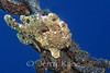 Commerson's Frogfish (Antennarius commerson) on a mooring chain - Puako, Big Island, Hawaii