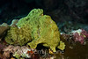 Commerson's Frogfish (Antennarius commerson) - Kaiwi Point, Big Island, Hawaii