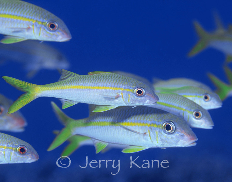 Yellowfin Goatfish (Mulloidichthys vanicolensis) - Honaunau, Big Island, Hawaii