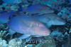 Blue Goatfish (Parupeneus cyclostomus) - Kahe Point, Oahu, Hawaii